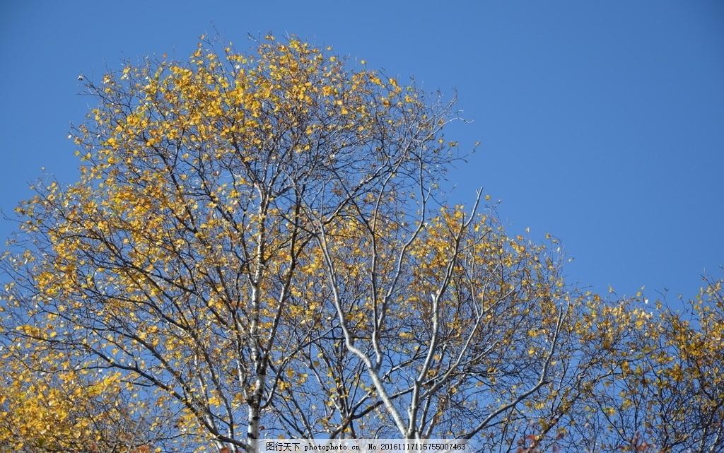 内蒙古 包头市 固阳县 马鞍山 秋天 秋景 夏秋之交 树林 白桦树 植物