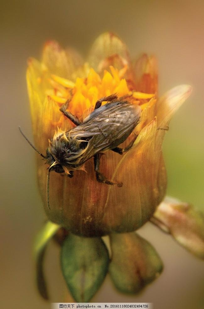 动物 蜜蜂 花卉 工蜂 采蜜 动物 摄影 生物世界 昆虫 96dpi tif