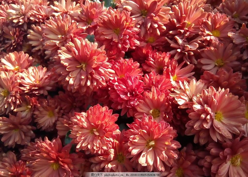 小雏菊 菊花 花朵 花瓣 花蕊 秋天 盛开 鲜艳 摄影