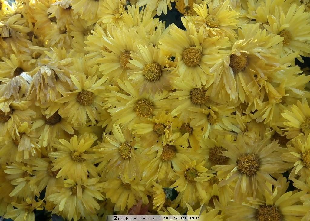 小雏菊 菊花 花朵 花瓣 花蕊 橙色 秋天 盛开 鲜艳 摄影