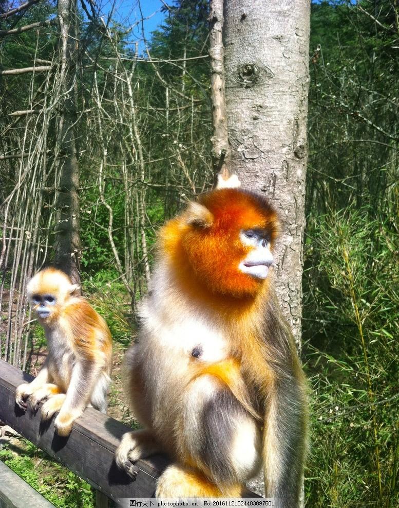 设计图库 生物世界 野生动物  神农架金丝猴 金丝猴 神农架 小猴子