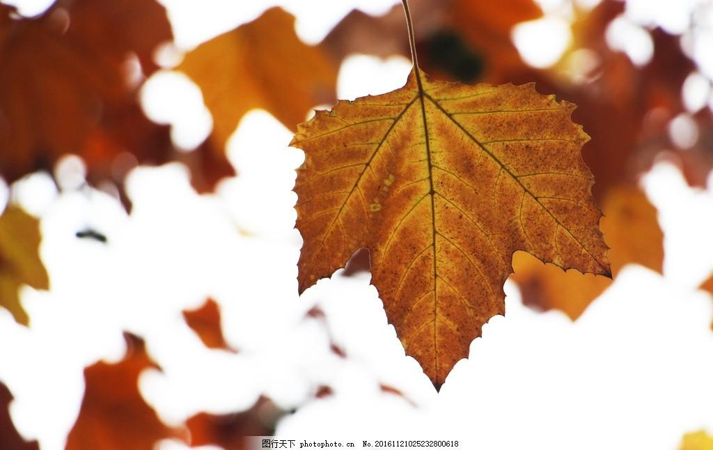 梧桐叶 秋 树叶 秋叶 黄叶 秋冬 标本 红树林 叶子 摄影