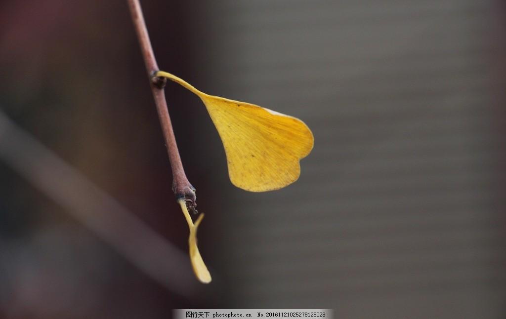 银杏叶 梧桐叶 秋 树叶 秋叶 黄叶 秋冬 标本 红树林 叶子