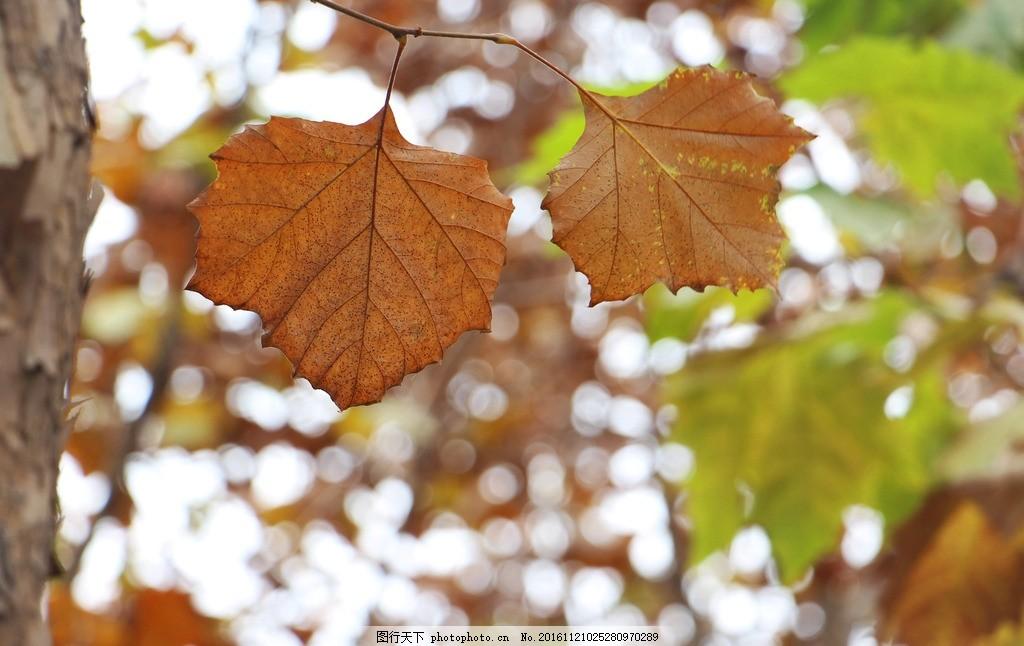 叶 梧桐叶 秋 树叶 秋叶 黄叶 秋冬 标本 红树林 叶子 摄影 生物世界