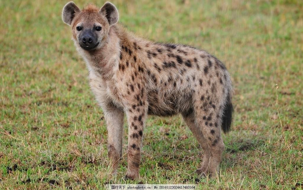狡猾 猎狗 野生动物 凶狠 野兽 摄影 生物世界 野生动物 300dpi jpg
