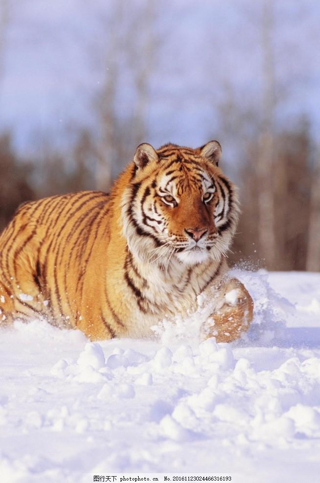 老虎 动物 野生 野性 生态 凶猛 东北虎 摄影