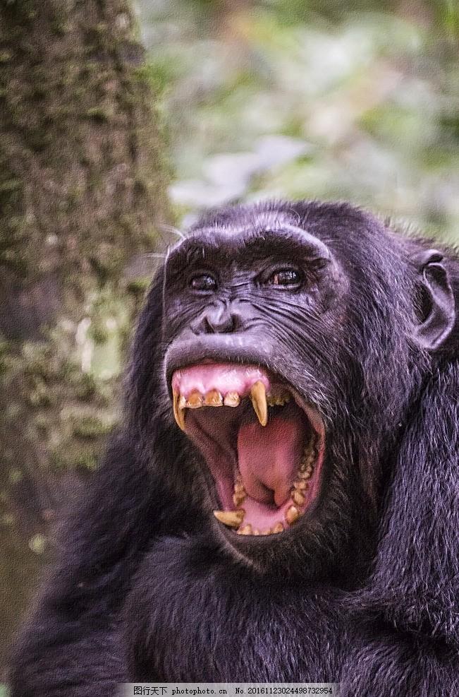 猩猩 动物 野兽 野性 人猿 猴子 摄影 摄影 生物世界 野生动物 300dpi