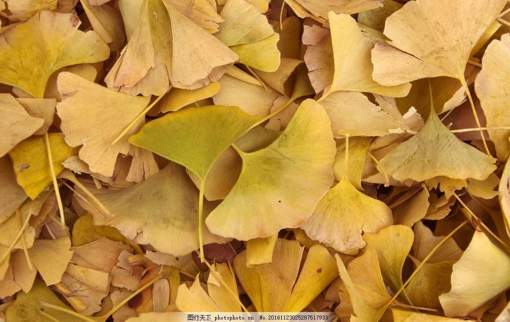 银杏树叶 秋天 树叶 银杏 落叶 高清 摄影 生物世界 树木树叶 240dpi