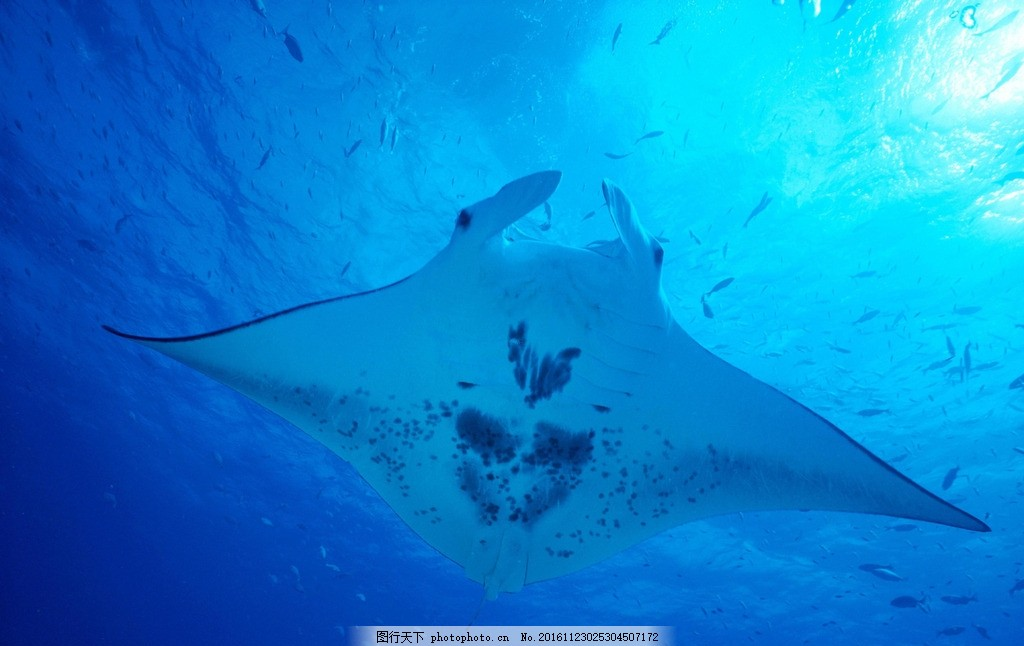 蝠鲼 动物 海底世界 野生 生态 鱼 魔鬼鱼 摄影