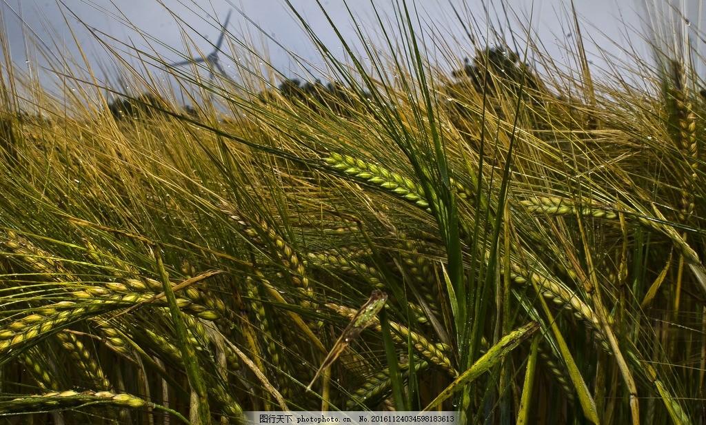水稻 稻田 稻谷 丰收 金黄 稻子 稻穗 秋天 谷子 摄影 自然景观 田园