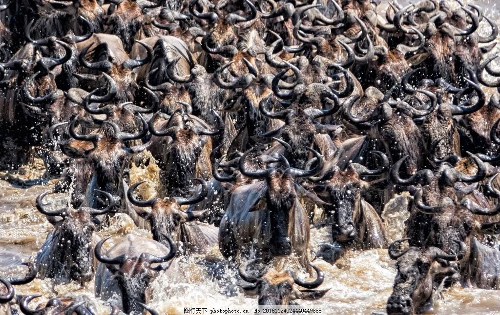 水牛 野牛群过河 野牛 牛群 渡河 生物世界 摄影 生物世界 野生动物