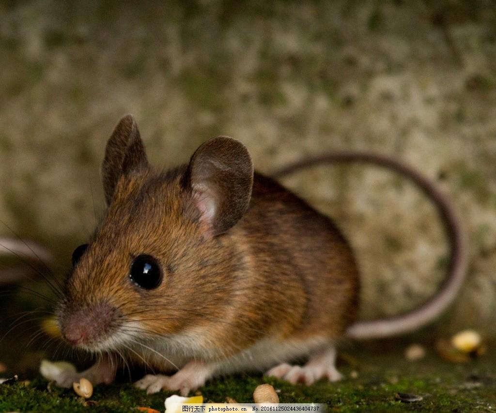 老鼠 动物 哺乳 害虫 地下 摄影