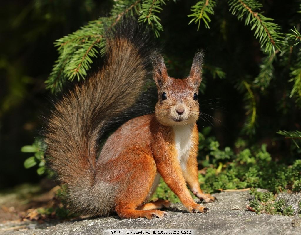 唯美 可爱 野生 松鼠 野生松鼠 摄影 生物世界 野生动物 300dpi jpg