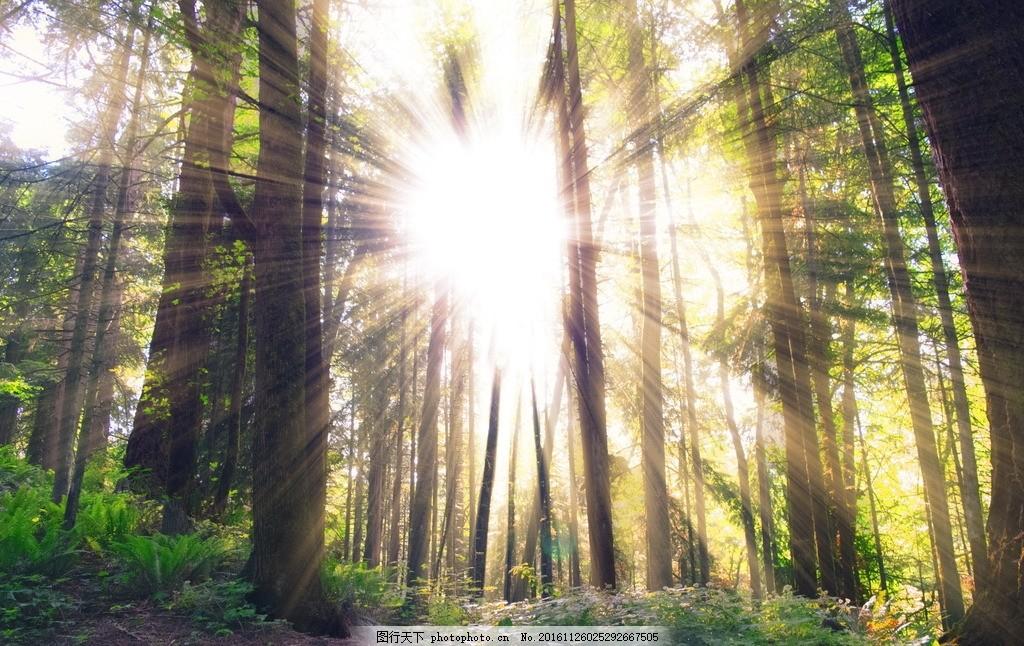 森林 树木 树干 树林风景 光芒 阳光 太阳 森林风景 自然风光 树木