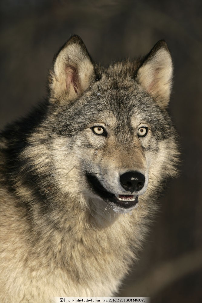 野狼摄影 野狼摄影图片素材 野生动物 动物摄影 动物世界 陆地动物