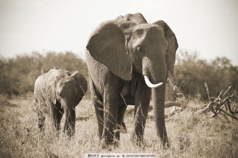 非洲大象 非洲大象图片素材 非洲动物 野生动物 动物世界 非洲草原