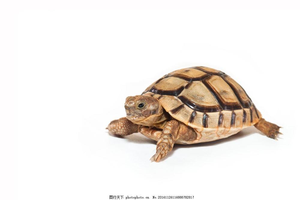 褐色乌龟 褐色乌龟图片素材 海龟 水中生物 动物 野生动物 动物世界