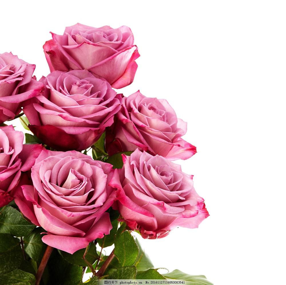 绿叶与花朵 绿叶与花朵图片素材 粉玫瑰 植物 鲜花 花卉 玫瑰花