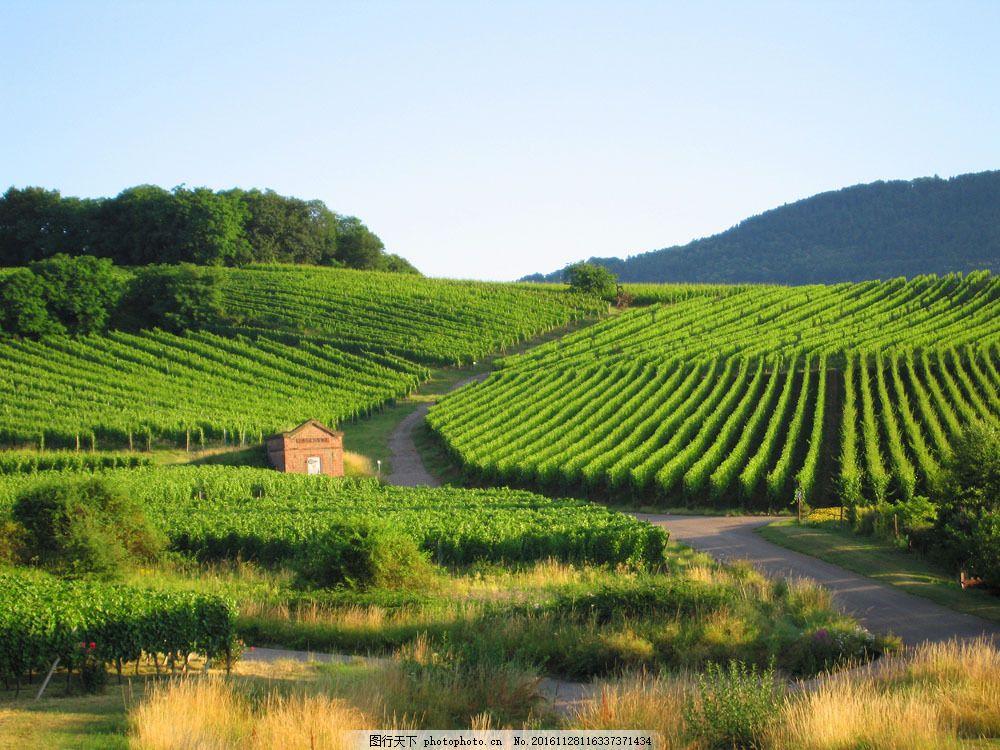 葡萄园 葡萄 葡萄树 葡萄酒 田园风光 自然景观 山水风景 风景图片