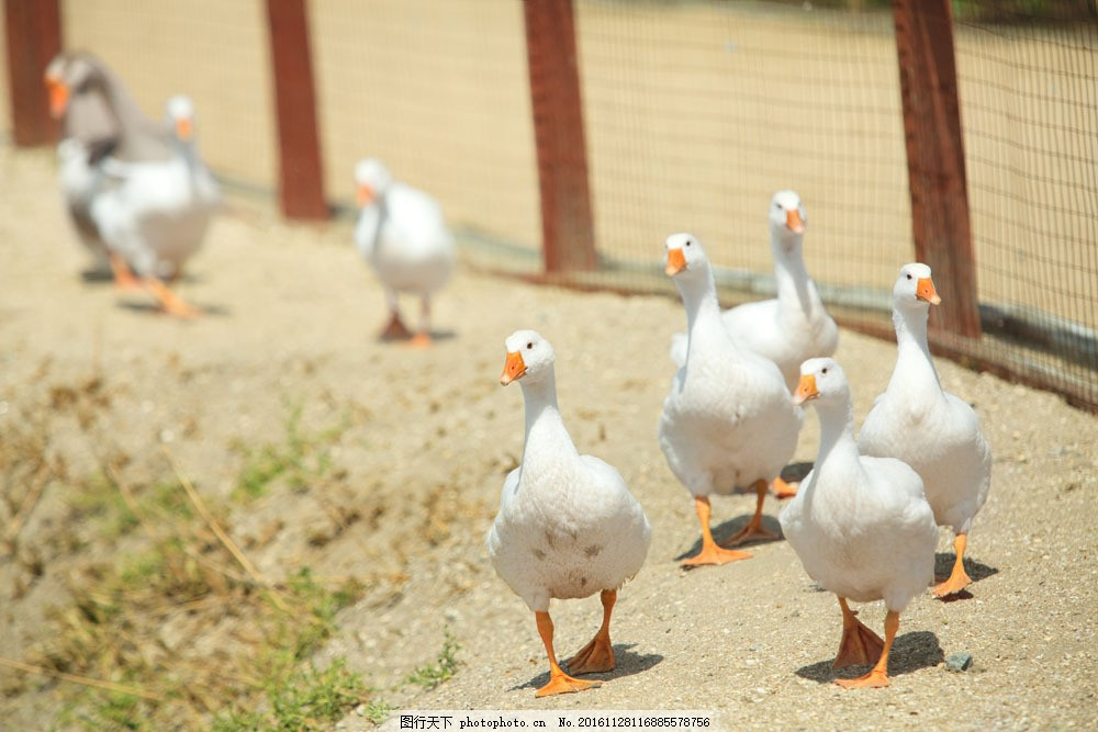 栅栏里的鹅 栅栏里的鹅图片素材 动物 农场 陆地动物 生物世界