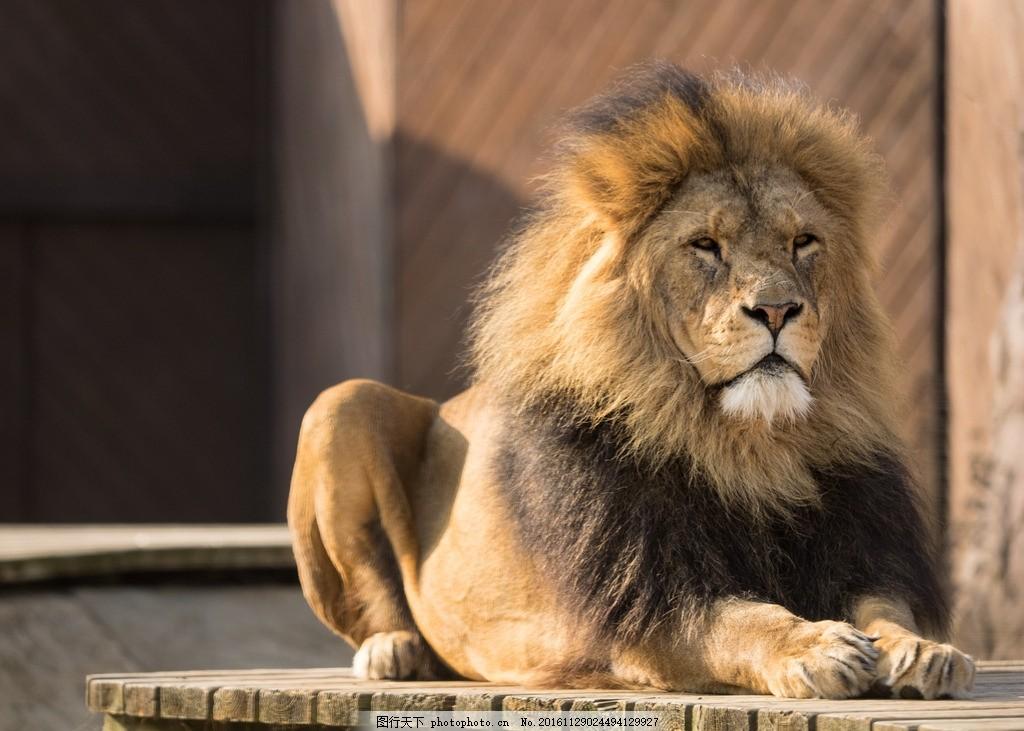 壁纸 动物 狮子 桌面 1024_731