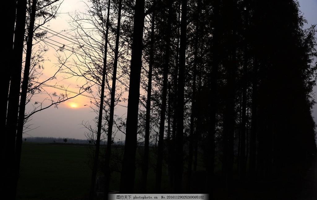 夕阳下的树木与麦苗 水杉树 风景树木 夕阳下树木 冬天树木 树木风景