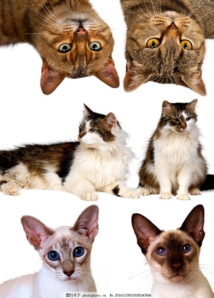 抠图素材 宠物猫 懒猫 卖萌猫 动物 家禽 野猫 流浪猫 成年猫 猫咪 猫