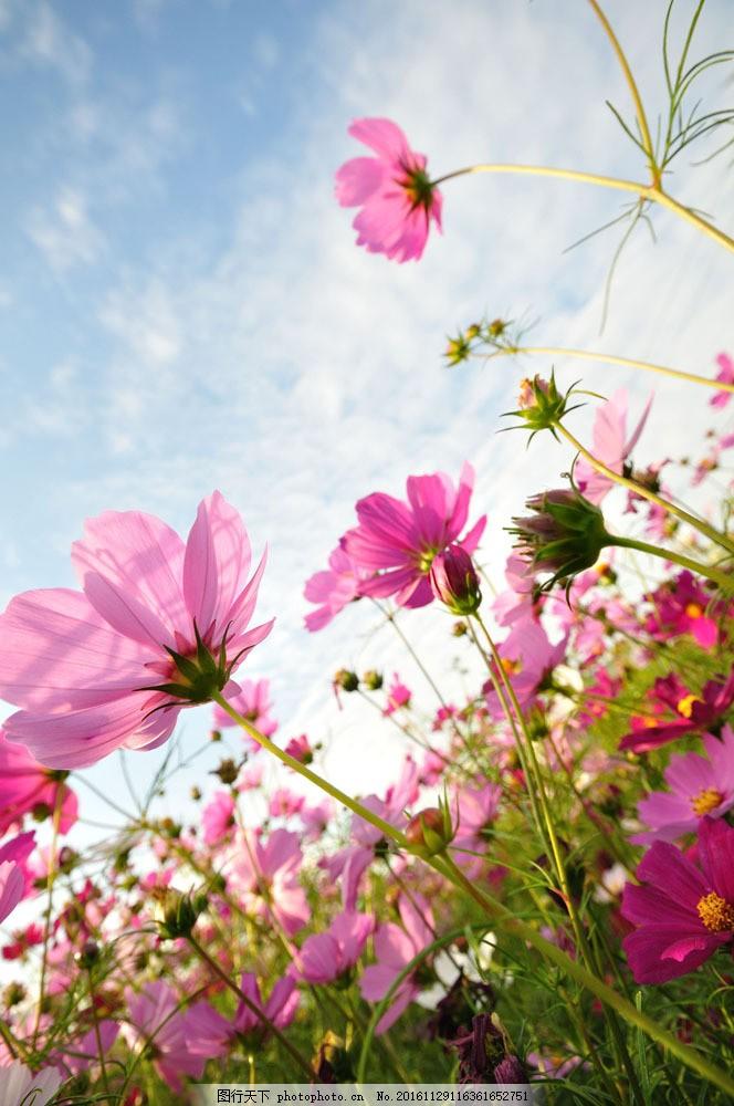 美丽鲜花 花朵 花卉 草地 蓝天白云 鲜花背景 山水风景 风景图片 图片