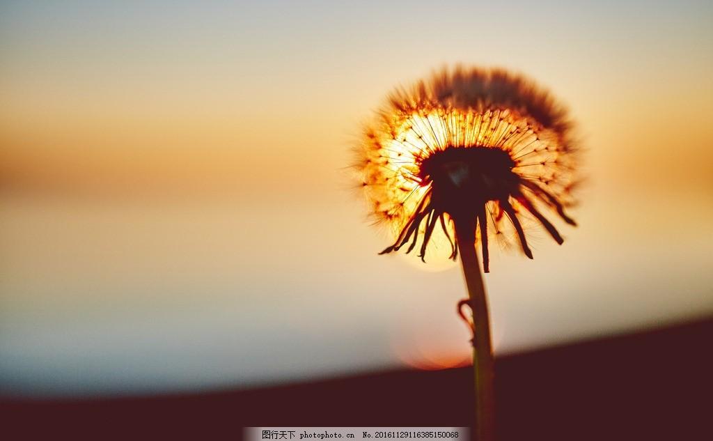 黄昏 日落 单独的蒲公英 要飞的蒲公英 摄影 摄影 自然景观 自然风景