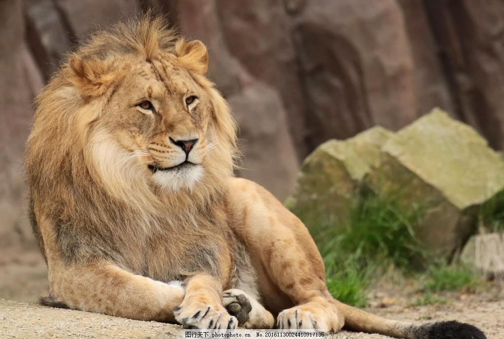 狮子 雄狮 狮 野兽 野生 动物 生物 海报 背景 高清 素材 摄影 生物世
