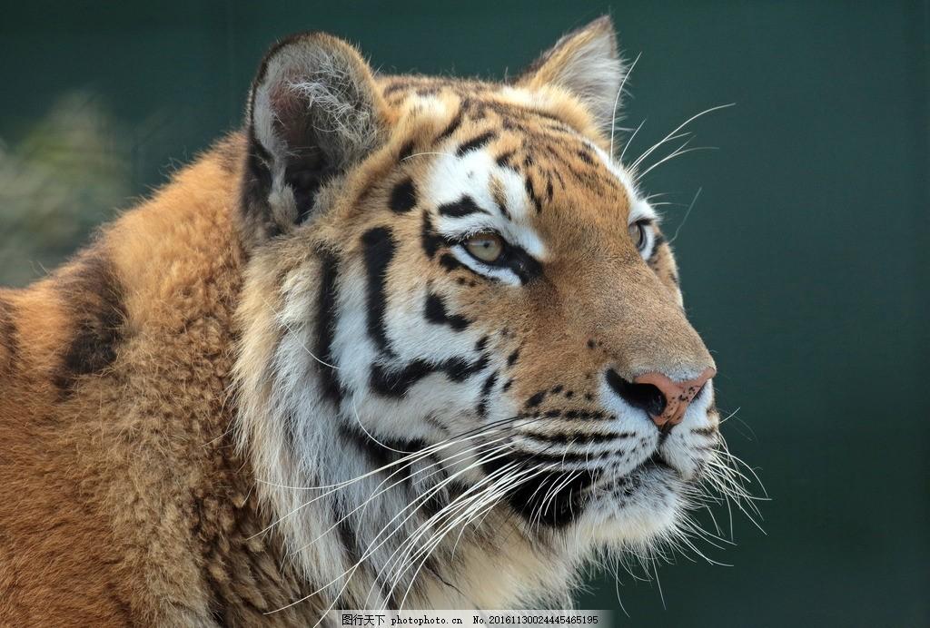 虎 老虎 东北虎 野生 野性 生态 凶猛 动物 摄影