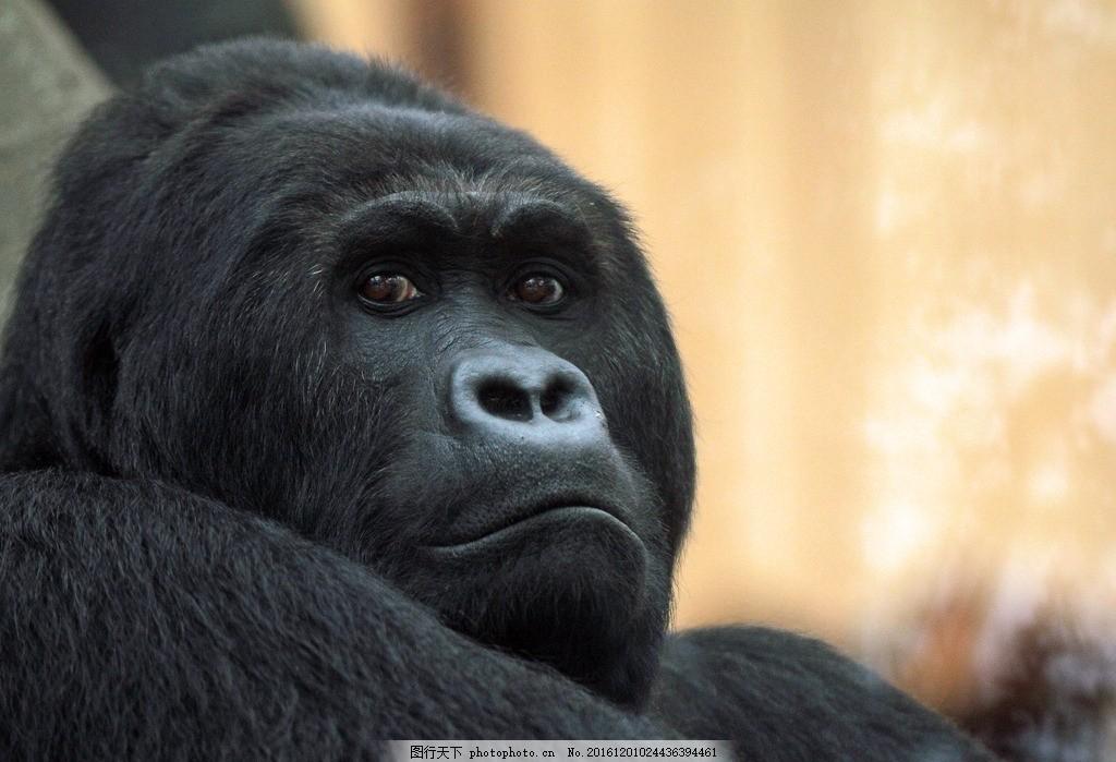 猩猩 动物 野兽 野性 人猿 猴子 摄影 摄影 生物世界 野生动物 72dpi