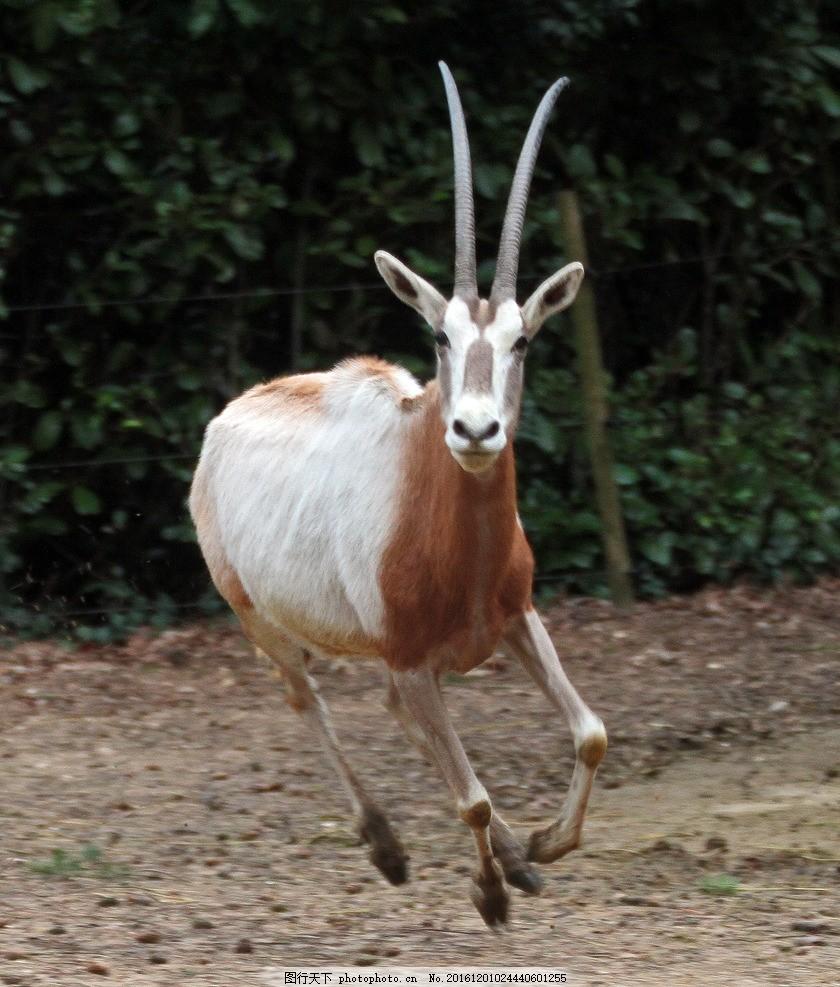 羚羊 野性 动物园 非洲草原 猛兽 野兽 凶猛 哺乳动物 长角
