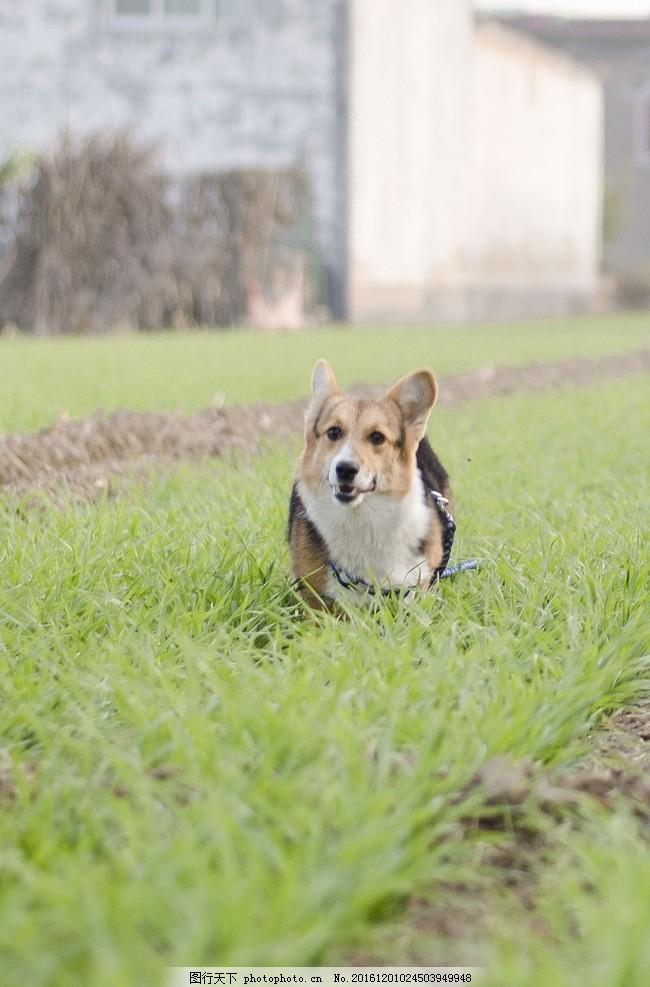 柯基 奔跑的柯基 柯基飞奔 可爱的柯基 狗狗 摄影 生物世界 家禽家畜