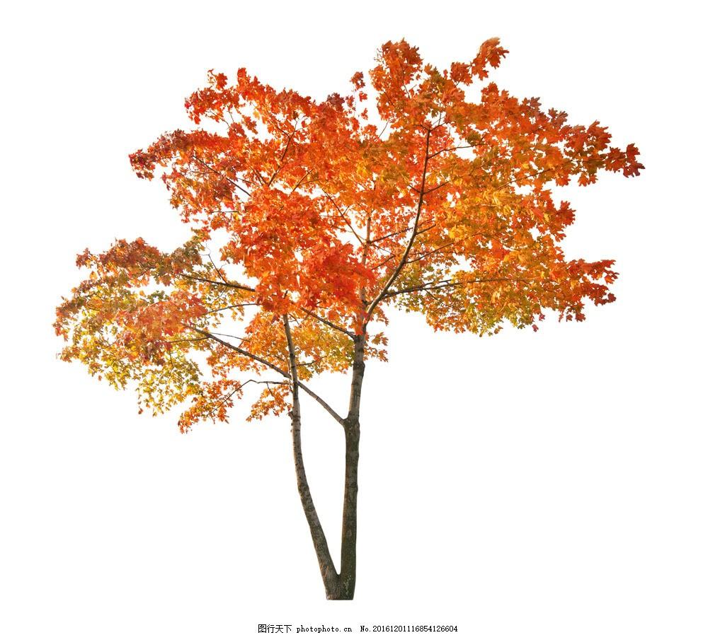 秋天枫叶树图片素材 枫叶树 大树 绿树 树木 树林 绿叶 叶子 树枝