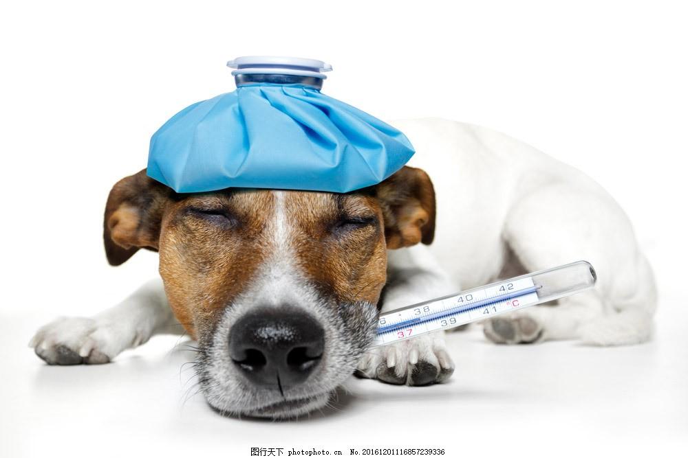 生病的小狗图片素材 狗狗 小狗 宠物狗 体温计 生病的小狗 可爱小狗