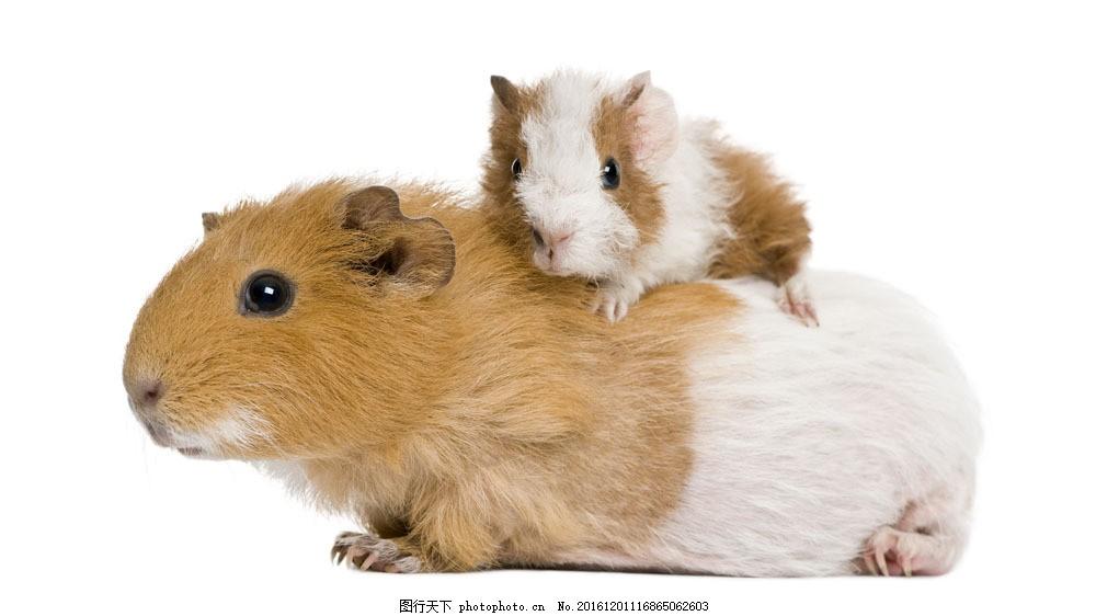 可爱仓鼠 可爱仓鼠图片素材 动物世界 老鼠 宠物 小老鼠 动物摄影