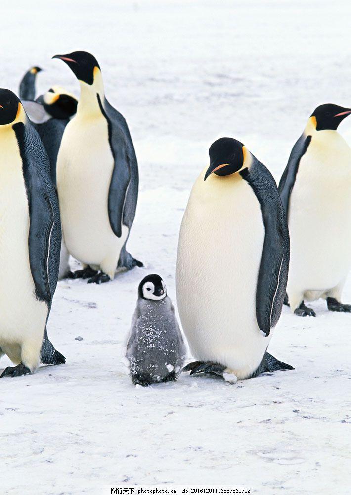 雪地企鹅摄影 雪地企鹅摄影图片素材 动物世界 生物世界 南极生物