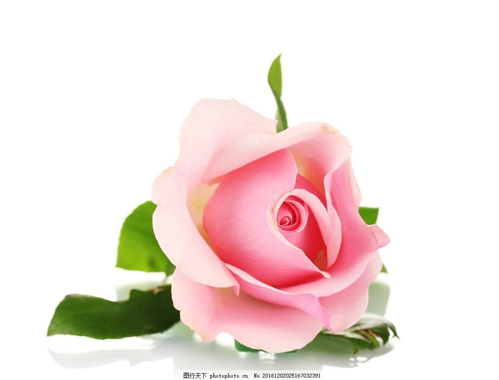 玫瑰 玫瑰花 粉玫瑰 一支红玫瑰 花卉 粉玫瑰素材 矢量粉玫瑰 花朵 鲜