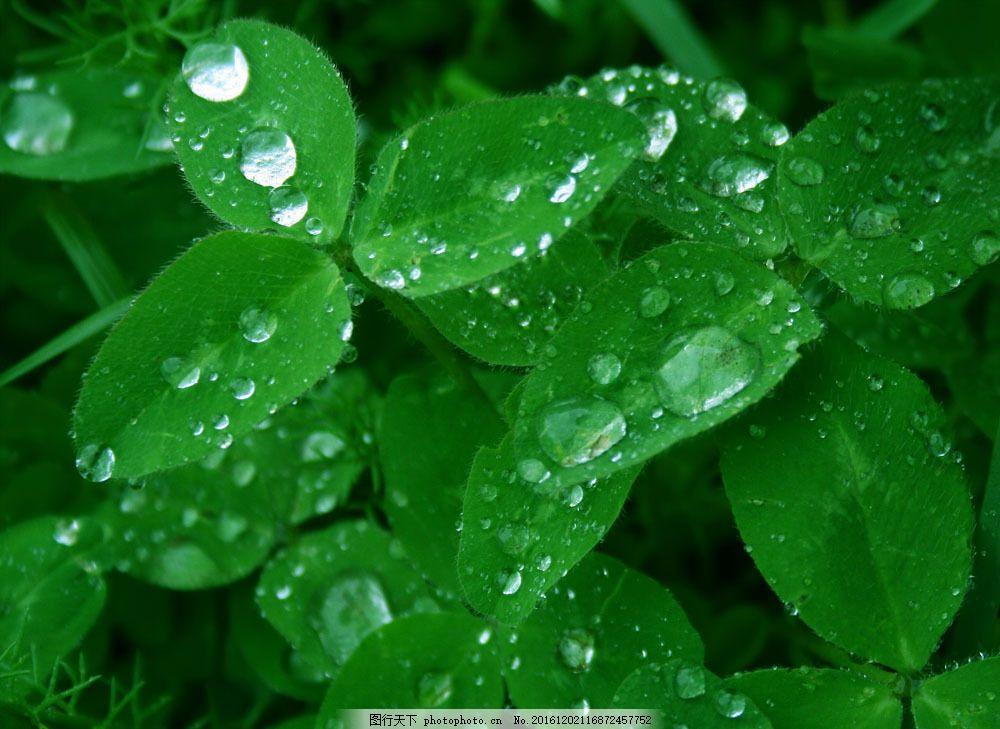 绿叶与露珠 绿叶与露珠图片素材 春天 春季 叶子 绿色清新 露水