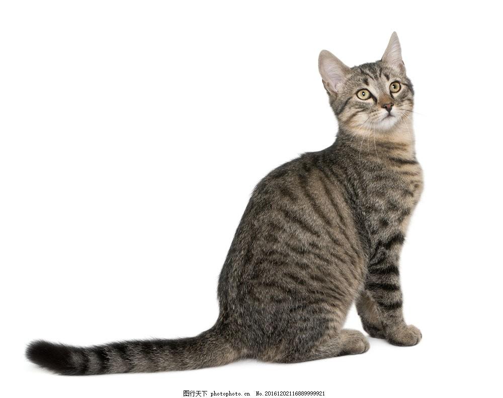 仰望的小猫 仰望的小猫图片素材 宠物 可爱 动物世界 猫咪图片
