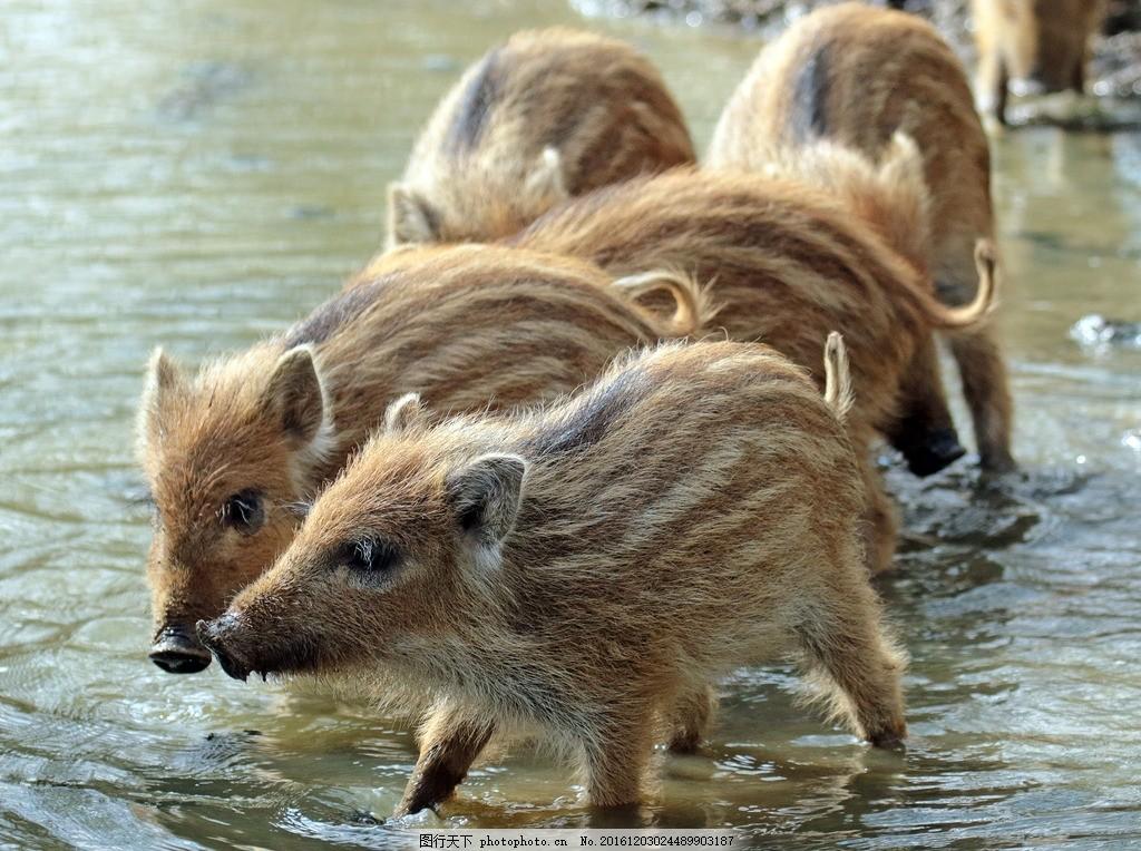 野猪 猪 小野猪 动物 野生 可爱 摄影