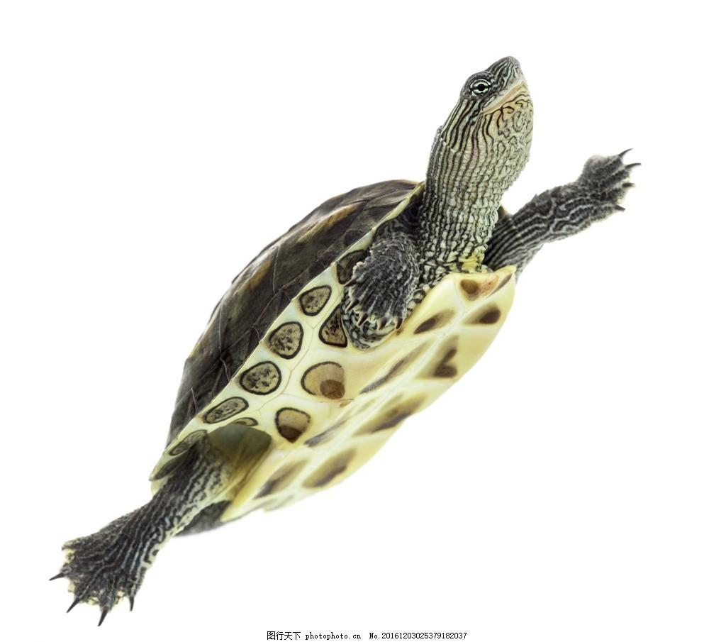 唯美 动物 可爱 海生动物 海龟 野生海龟 摄影 生物世界 海洋生物 300