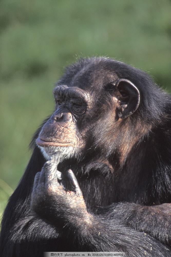 黑猩猩摄影图片素材 大猩猩 黑猩猩 野生动物 动物世界 摄影图 陆地