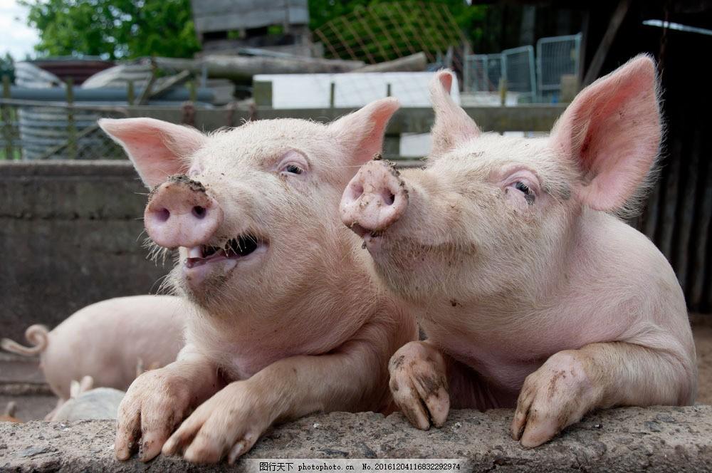 猪 猪图片素材 家畜 养殖业 动物世界 陆地动物 生物世界