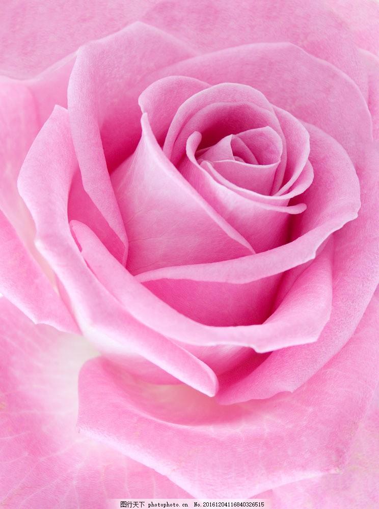 粉玫瑰特写 粉玫瑰特写图片素材 植物 花朵 鲜花 花卉 玫瑰花