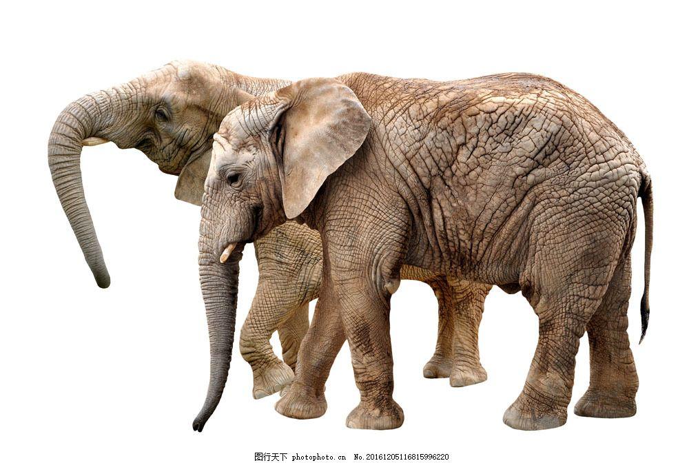 两只大象 两只大象图片素材 野象 动物 野生动物 动物世界 陆地动物