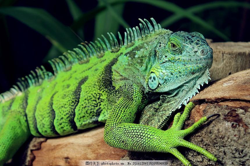 动物,绿色,蜥蜴,爬行动物,野生,鬣蜥,爬行动物
