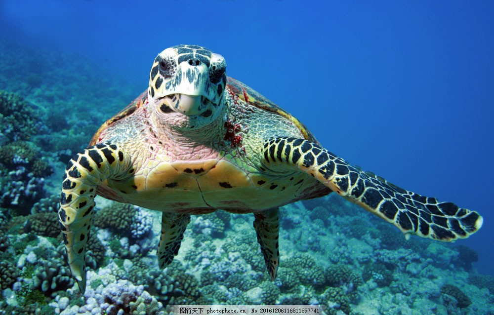 海度游乌龟 海度游乌龟图片素材 海龟 水中生物 动物 野生动物