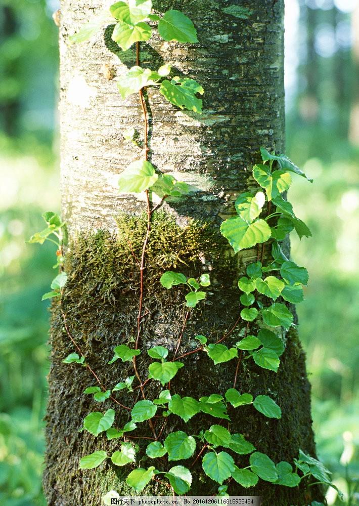 树干上的叶子图片素材 树 树木 树林 大树 树干 茂盛 大自然 叶子
